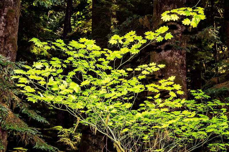 BACKLIT LEAVES - MARYMERE FALLS TRAIL