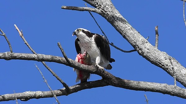 Osprey Meal