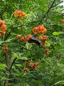 Turk's Cap Lilly and Black Swallowtail