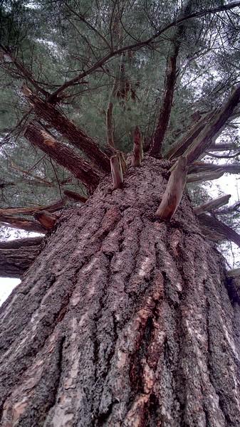 Giant White Pine