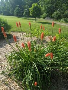 Red Hot Poker Plants at Old Smicksburg Park