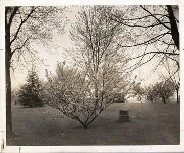 Cherry Tree III (00412)