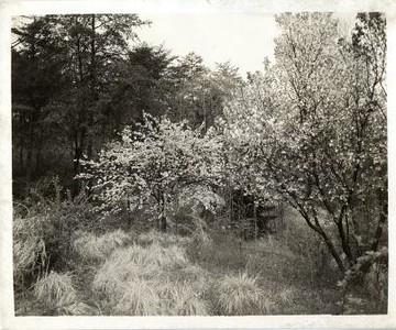 Cherry Tree II (00411)