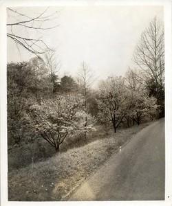 Cherry Tree V (00414)