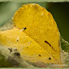 "yellow leaf and cobwebs...<br /> <br /> This is the same yellow leaf seen in my POD of August 11, 2012. I liked the color and cobwebs...  <a href=""http://smu.gs/NorA6I"">http://smu.gs/NorA6I</a><br /> <br /> Schabarum Regional Park<br /> Rowland Heights, CA<br /> <br /> August 15, 2012"