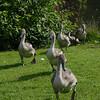 Swan Family arrives