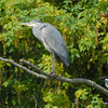 Grey Heron + Mobbing Magpie