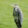 Grey Heron at Car Park