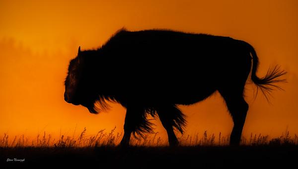 Bison Sunset