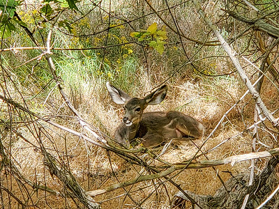 Mule Deer near Riverside Walk