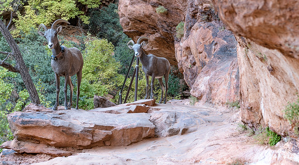 Bighorn Sheep are blocking the trail for me.