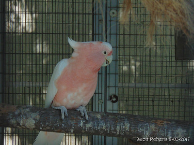Major Mitchell is a pink cockatoo from Australia. They are not fans of Froot Loops cerial and both male and female work together to incubate their eggs, which takes about 30 days.