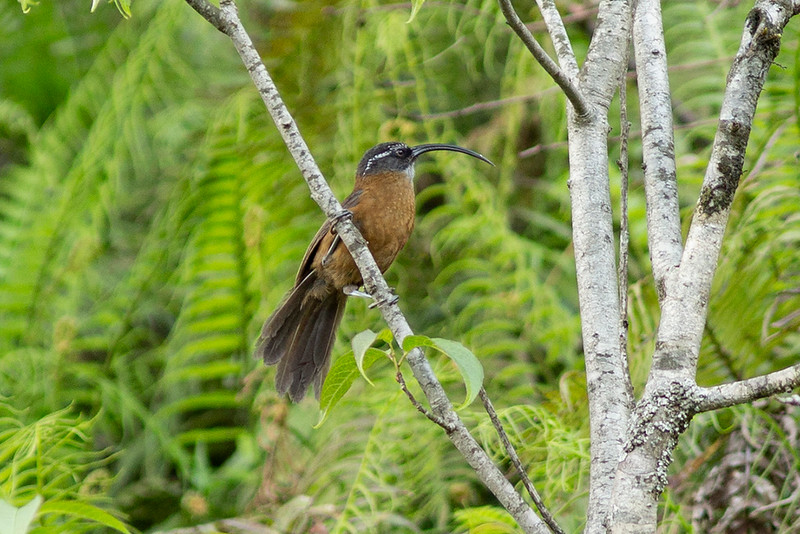 Slender-billed Scimitar Babbler
