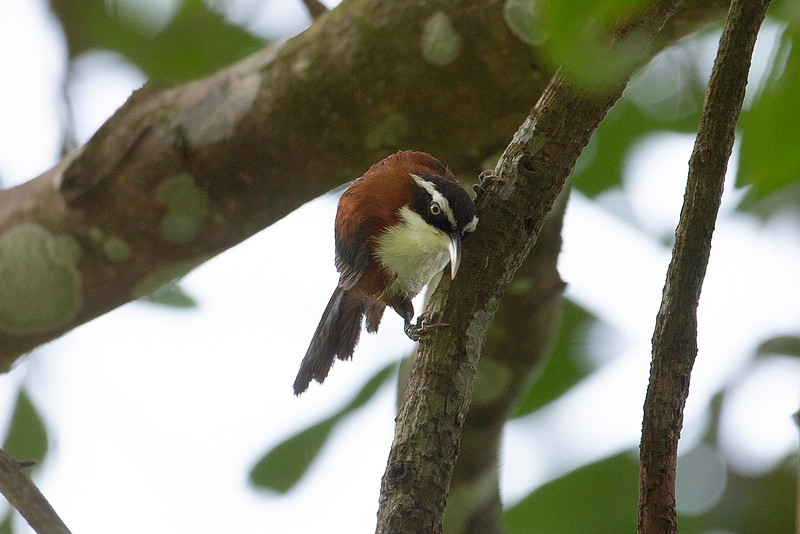 Chestnut-backed Scimitar Babbler