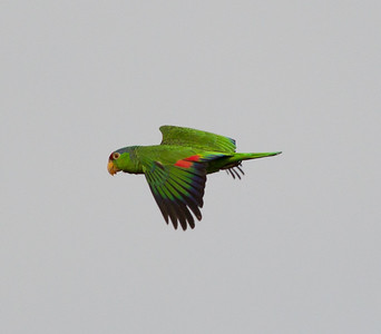 Lilac-crowned Parrot  Nazarene College Point Loma 2014 04 19-2.CR2