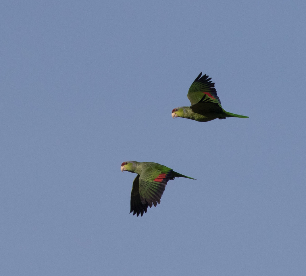 Lilac-crowned Amazon -Parrot Ocenaside 2018 01 21 (1 of 1).CR2
