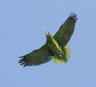 Lilac-crowned Parrot Oceanside 2014 05 23-2.CR2