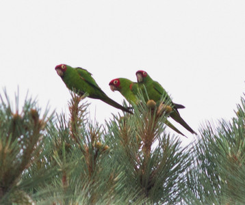 Red-masked Parakeet  Point Loma  2013 05 05 (1 of 1).CR2-1.CR2