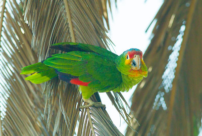 Red-lored Parrot  Oceanside 2014 05 23-2.CR2-2.CR2