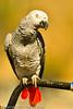 An African Gray Parrot taken Oct. 1, 2011 near Los Angeles, CA.