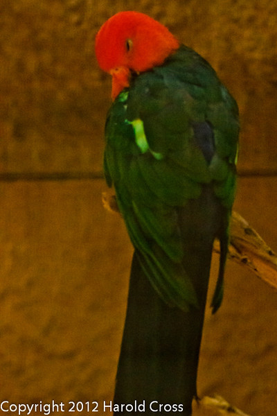 An Australian King Parrot taken July 19, 2012 in Albuquerque, NM.