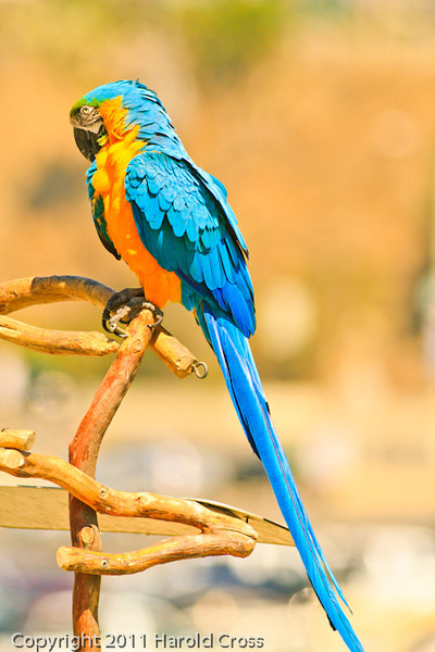 A Blue and Gold Macaw taken Oct. 1, 2011 near Los Angeles, CA.