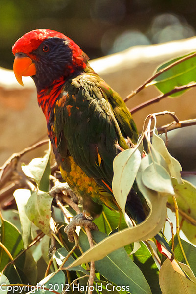 A Chattering Lory taken July 19, 2012 in Albuquerque, NM.