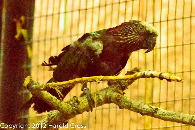A Hawk-headed Parrot taken July 19, 2012 in Albuquerque, NM.