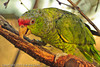 A Lilac-crowned Parrot taken Nov. 3, 2011 near Tucson, AZ.