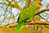 A Lilac-crowned Parrot taken Feb. 3, 2012 near Tuscon, AZ.
