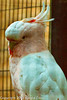A Major Mitchell's Cockatoo taken July 19, 2012 in Albuquerque, NM.