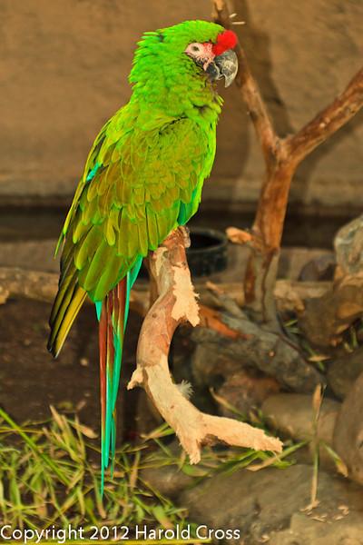 A Military Macaw taken Feb. 25, 2012 in Tucson, AZ.