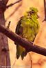 A Pacific Parrotlet taken Feb. 20, 2012 in Tucson, AZ.