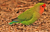 A Peach-faced Lovebird taken Feb 10, 2010 in Gilbert, AZ.