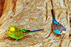 Budgerigars taken July 19, 2012 in Albuquerque, NM.