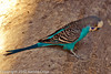 A Budgerigar taken July 19, 2012 in Albuquerque, NM.