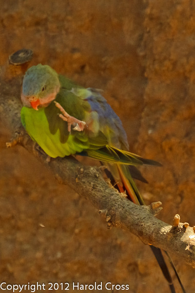 A Princess of Wales Parakeet taken July 19, 2012 in Albuquerque, NM.