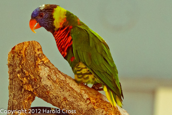 A Rainbow Lorikeet taken July 19, 2012 in Albuquerque, NM.