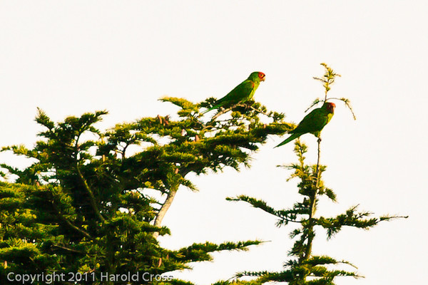 Red-crowned Parrots taken Sep. 26, 2011 in San Francisco, CA.