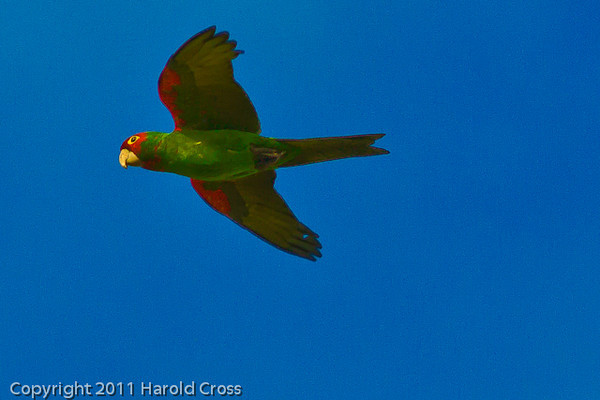A Red-crowned Parrot taken Sep. 26, 2011 in San Francisco, CA.