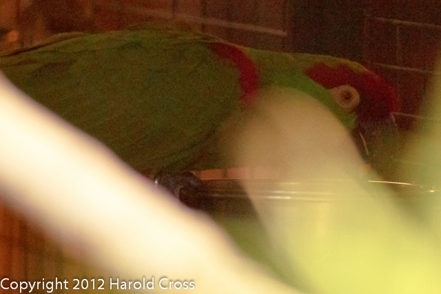 A Thick-billed Parrot taken July 19, 2012 in Albuquerque, NM.