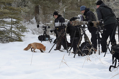 Red Fox Photo Session