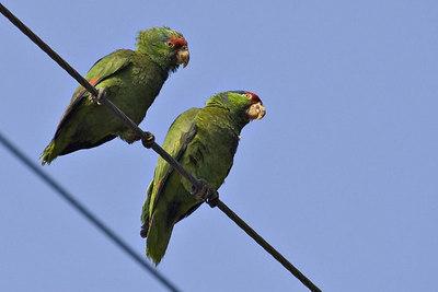 DSC_5811-parrots-email