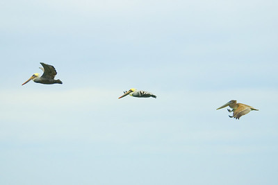 3 Pelicans Flying-email