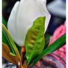 White magnolia from Debbie's garden.