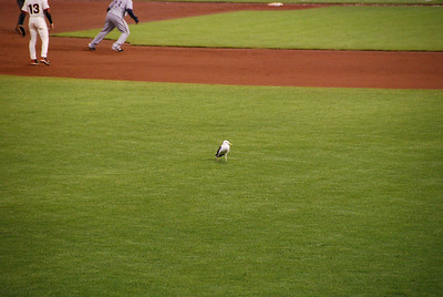 Seagull on duty in the outfield for the whole game