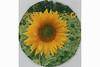 Tinis Lieblingsblume: Sonnenblume