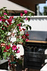 This is a look at the Bouganvilla on our patio.