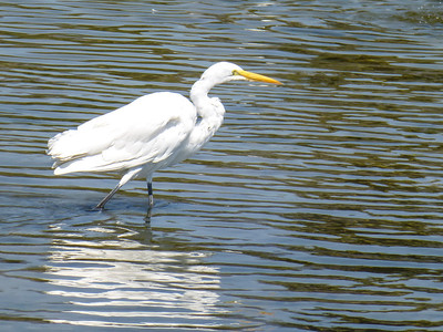 Santa Barbara Great Egret