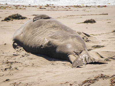Bull elephant seal at the Elephant Seal Rookery at Piedras Blancas, north of Cambria and San Simeon on Highway 1